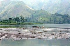 Bestiame al lago Kivu Fotografie Stock Libere da Diritti