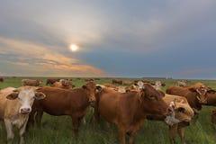 Bestiame al tramonto Immagine Stock Libera da Diritti