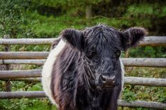 Bestiame allacciato di Galloway Immagine Stock