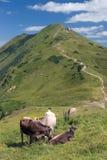 Bestiame alpino Fotografia Stock