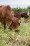 Bestiame americano della mucca del bramano Immagine Stock