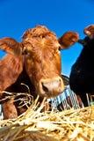 Bestiame amichevole su paglia Immagini Stock Libere da Diritti