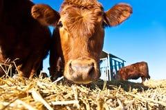 Bestiame amichevole su paglia Fotografia Stock Libera da Diritti