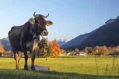 Bestiame in Baviera Immagini Stock Libere da Diritti