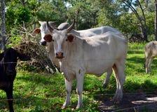 Bestiame a Belize rurale fotografia stock
