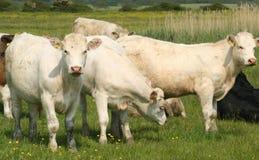 Bestiame bianco della palude Immagini Stock