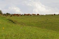 Bestiame in campagna tedesca Fotografia Stock Libera da Diritti