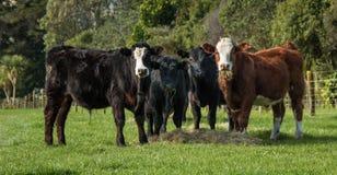 Bestiame che alimenta fieno Fotografie Stock Libere da Diritti