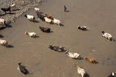Bestiame che attraversa un fiume, Etiopia fotografia stock libera da diritti