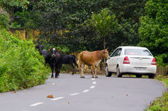 Bestiame che blocca la strada Fotografie Stock Libere da Diritti
