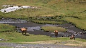 Bestiame che cammina dal fiume stock footage