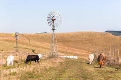 Bestiame che coltiva il paesaggio dei mulini a vento Immagine Stock