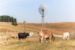 Bestiame che coltiva il paesaggio dei mulini a vento Fotografia Stock Libera da Diritti