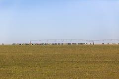 Bestiame che coltiva paesaggio Immagine Stock Libera da Diritti
