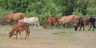 Bestiame che mangia erba Fotografie Stock