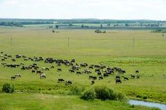 Bestiame che mangia erba nel prato Fotografie Stock