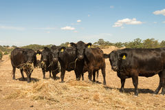 Bestiame che mangia fieno durante l'estate asciutta fotografia stock libera da diritti