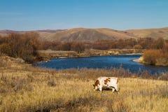 Bestiame che mangia sulla sponda del fiume Immagini Stock Libere da Diritti