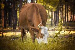 Bestiame che pasce Immagini Stock Libere da Diritti