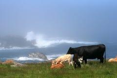 Bestiame che pasce Fotografia Stock Libera da Diritti