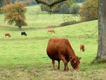 Bestiame che pasce Fotografie Stock