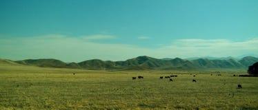 Bestiame che pasce fotografie stock libere da diritti