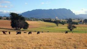 Bestiame che pasce nel campo, Tasmania Immagine Stock