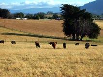 Bestiame che pasce nel recinto chiuso aperto, Tasmania Immagini Stock