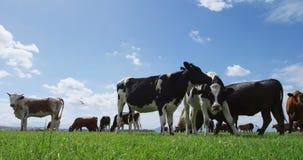 Bestiame che pasce nell'azienda agricola 4k stock footage
