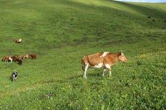 Bestiame che pasce sul pascolo dell'alta montagna Fotografia Stock Libera da Diritti