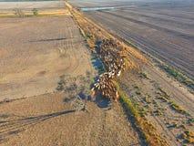 Bestiame che raduna nell'entroterra Fotografia Stock Libera da Diritti