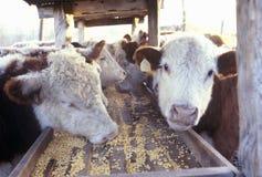 Bestiame che si alimenta, Mo di Hereford Immagini Stock