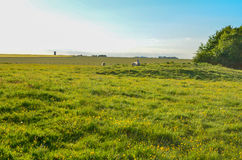 Bestiame che si rilassa in un campo verde un giorno di estate caldo Immagini Stock Libere da Diritti