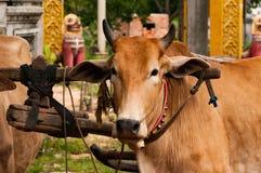 Bestiame che tira i carretti vicino al lago sap di Tonle, Cambogia, Indocina fotografia stock libera da diritti