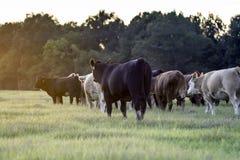 Bestiame che waliking a sinistra nel tramonto fotografie stock libere da diritti