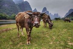 Bestiame in Cina del sud, mucche che pascono sul pascolo nel Guangxi Fotografia Stock