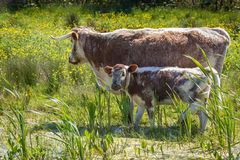 Bestiame cornuto lungo inglese Fotografie Stock