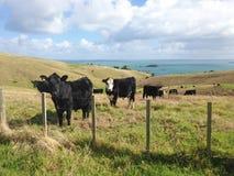 Bestiame curioso su terra costiera immagine stock