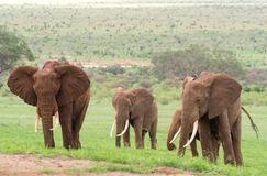 Bestiame da riproduzione degli elefanti sulla savanna africana Fotografia Stock Libera da Diritti