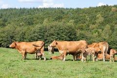 Bestiame da riproduzione delle mucche da macello del Limosino con i vitelli Fotografie Stock Libere da Diritti
