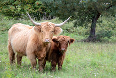 Bestiame degli altopiani Fotografia Stock