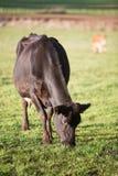 Bestiame del diario in pascolo Fotografia Stock Libera da Diritti