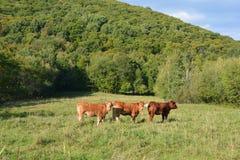 Bestiame del Limosino Immagine Stock