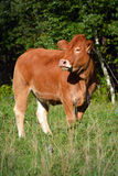Bestiame del Limosino Fotografia Stock