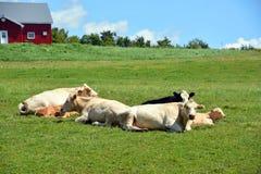 Bestiame del Limosino Fotografia Stock Libera da Diritti