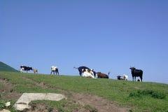 Bestiame del pascolo Fotografia Stock Libera da Diritti
