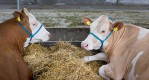 Bestiame del simmental in stalla Fotografia Stock Libera da Diritti