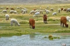 Bestiame dell'alpaca che mangia nel loro stato naturale Immagini Stock Libere da Diritti