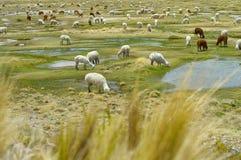 Bestiame dell'alpaca che mangia nel loro stato naturale Fotografie Stock
