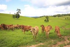 Bestiame dell'altipiano Immagini Stock Libere da Diritti